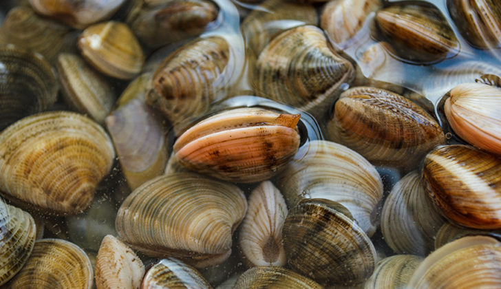 Surf clams are shifting their range in response to changing ocean bottom temperatures. NOAA photo