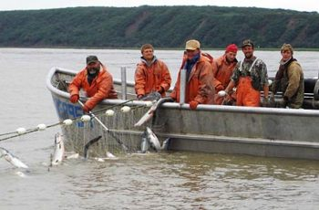 Harvesting sockeye in Bristol Bay. Alaska state wildlife officials hope to avoid fisheries staff cuts and form local partnerships to help fund shortfalls in research and management. ADF&G photo