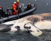 Canada imposes new vessel speed limit after right whale deaths