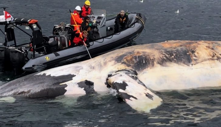 Responders examine a dead right whale in the Gulf of St. Lawrence in 2017. Marine Animal Response Society photo