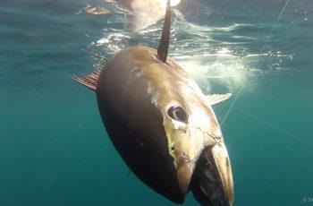 A bluefin tuna. NOAA photo