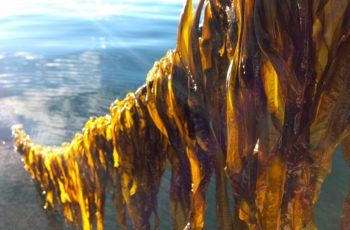 Winged kelp in cultivation. Seaweed mariculture and oysters are leading development of Alaska's underwater farming. University of Maine photo.