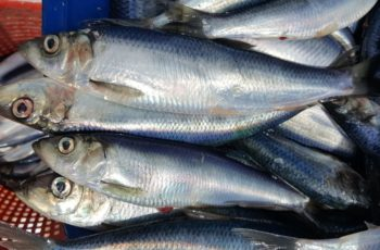 The New England Fishery Management Council proposes to impose an inshore midwater trawl restricted area as part of Amendment 8 to its herring management plan. Massachusetts Division of Marine Fisheries photo.