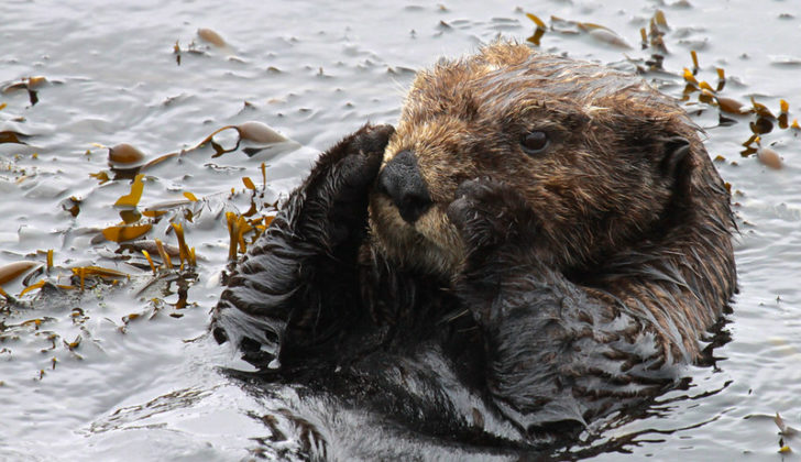 Sea otters weigh up to 100 pounds and can eat a quarter of their body mass in a day. U.S. Fish and Wildlife Service photo.