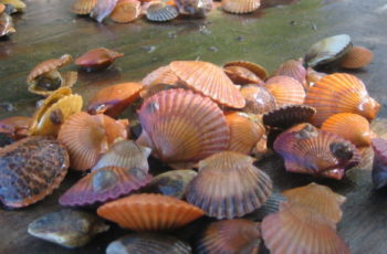 Bay scallops, a prized seasonal fishery on eastern Long Island, are hard to find after a summer of high water temperatures. Peconic Estuary Program photo.