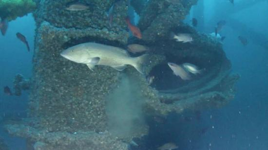 Fish swim around part of an old offshore oil platform re-purposed for Louisiana's artificial reef program. Louisiana Department of Wildlife and Fisheries photo.