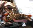 Maine lobster. Maine Sea Grant photo/Natalie Springuel