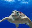 Sea turtle restoration in the Gulf of Mexico is high on the list of projects to be funded with $226 million in Deepwater Horizon damage assessment money. NOAA photo