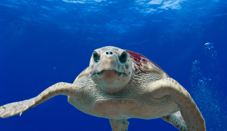 Sea turtle restoration in the Gulf of Mexico is high on the list of projects to be funded with $226 million in Deepwater Horizon damage assessment money.
