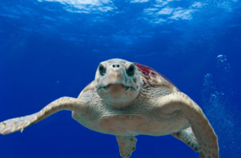 Deepwater Horizon trustees set $226 million for turtle bycatch, restoration projects