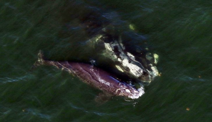 A newborn northern right whale swimming with its mother shows signs of propeller injuries from a suspected ship strike off Georgia Jan. 8, 2020. Florida Fish and Wildlife Commission/photo taken under NOAA permit 18786-04.