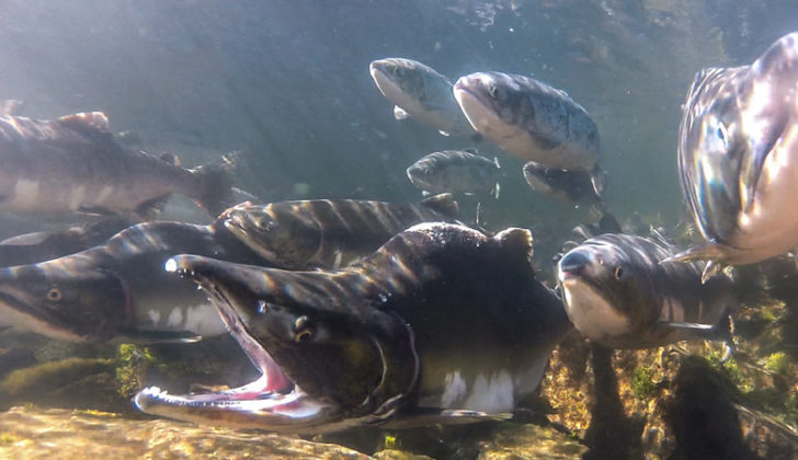 The Tongass and Chugach rivers contribute on average 48 million fish to Alaska's salmon fishery every year. Sitka Conservation Society.