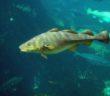 Atlantic cod. Wikimedia Commons/Hans-Petter Fjeld.