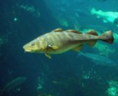 Conservation Law Foundation petitions to halt Northeast cod fishing