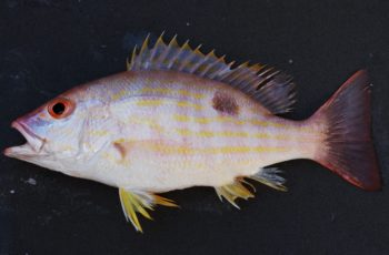 The biajaiba, also known as lane snapper, is an item on the menu of Sexto Colectivo. Wikipedia photo.