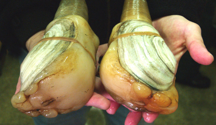 The U.S. geoduck fishery's predominant live export market has been hobbled by the coronavirus outbreak in Chine. USDA photo.