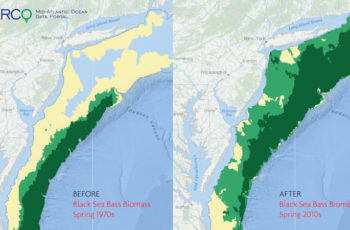 A new mapping effort documents the long-term shift in distribution of important fish species, in this example black sea bass, along the East Coast. MARCO Data Portal image.