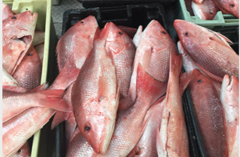 Red snapper at the dock. Fishermen say it appears the stock is recovered, and prices to the boats were between $5 and $6 in 2019. John DeSantis photo.