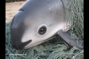 Only 10 vaquita porpoises are believed to survive in Mexico's Gulf of California waters. SavetheWhales.org photo.